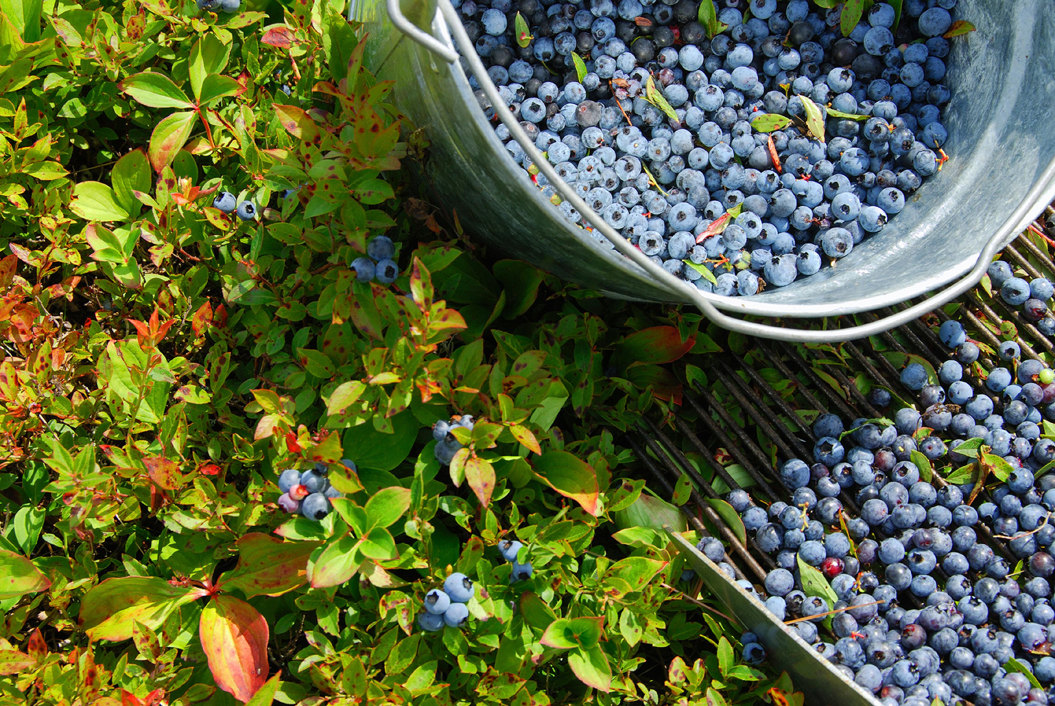 Treat yourself to wild Maine blueberries in summer months.